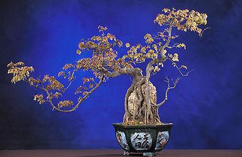 100723_bonsai
